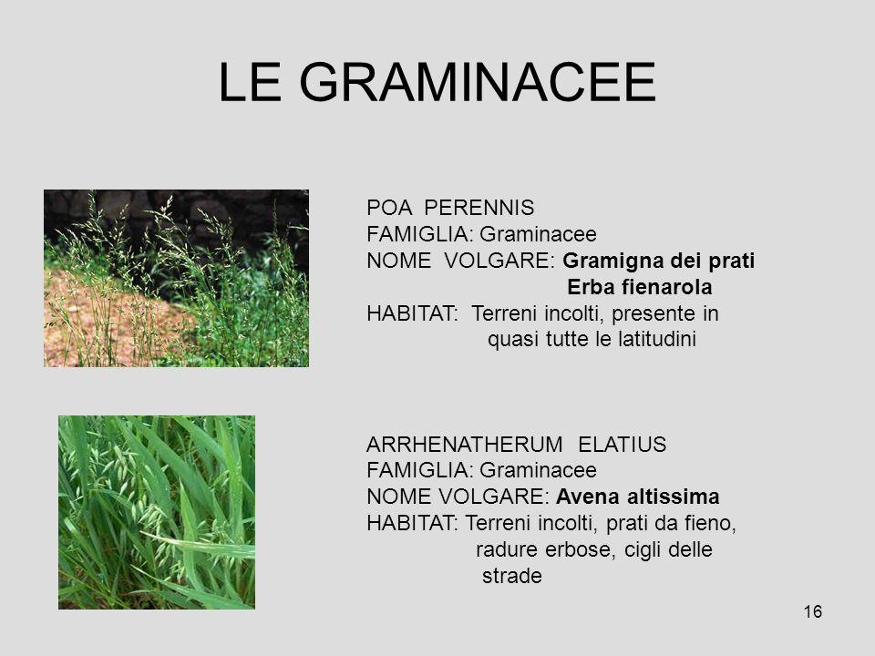 LE GRAMINACEE POA PERENNIS FAMIGLIA: Graminacee