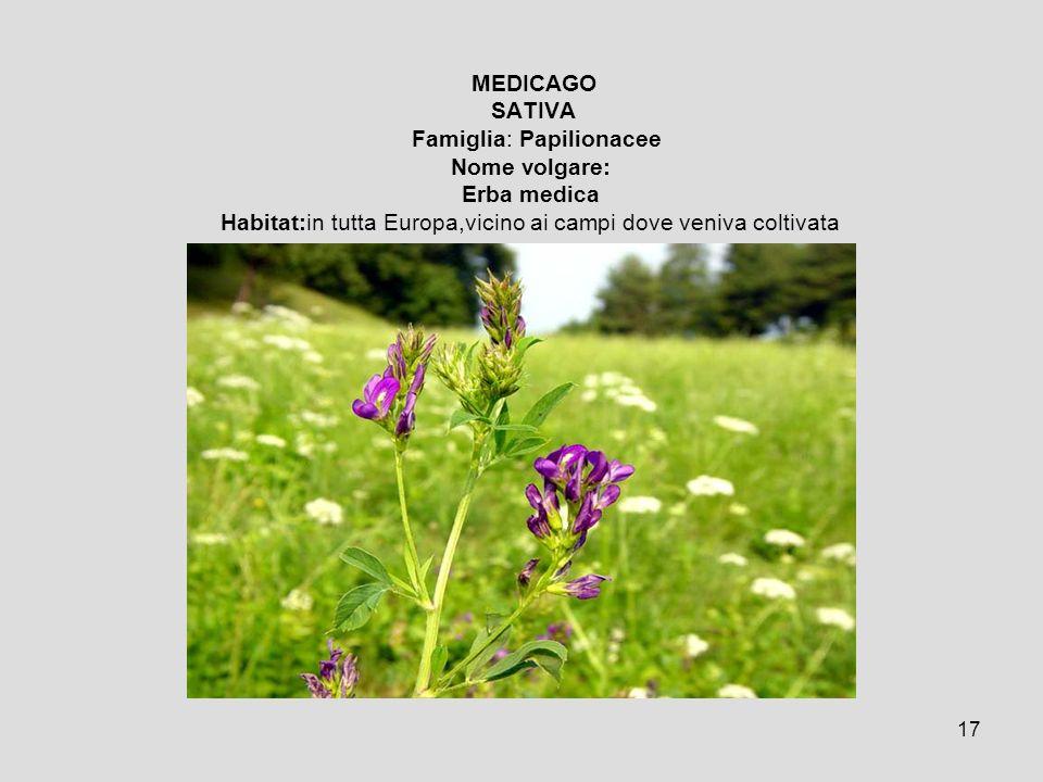 MEDICAGO SATIVA Famiglia: Papilionacee Nome volgare: Erba medica Habitat:in tutta Europa,vicino ai campi dove veniva coltivata