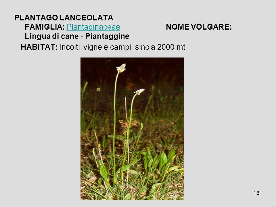 PLANTAGO LANCEOLATA FAMIGLIA: Plantaginaceae NOME VOLGARE: Lingua di cane - Piantaggine
