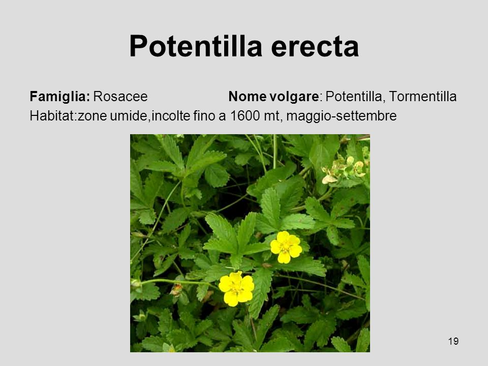 Potentilla erecta Famiglia: Rosacee Nome volgare: Potentilla, Tormentilla.