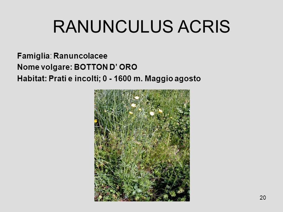 RANUNCULUS ACRIS Famiglia: Ranuncolacee Nome volgare: BOTTON D' ORO