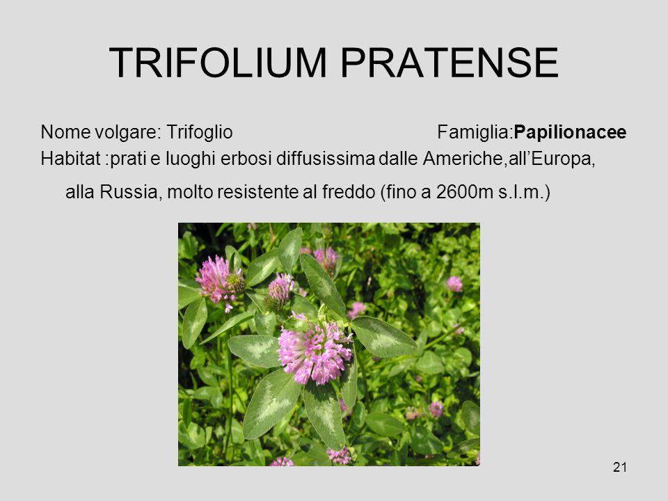 TRIFOLIUM PRATENSE Nome volgare: Trifoglio Famiglia:Papilionacee