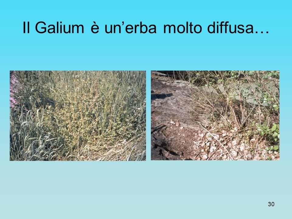 Il Galium è un'erba molto diffusa…
