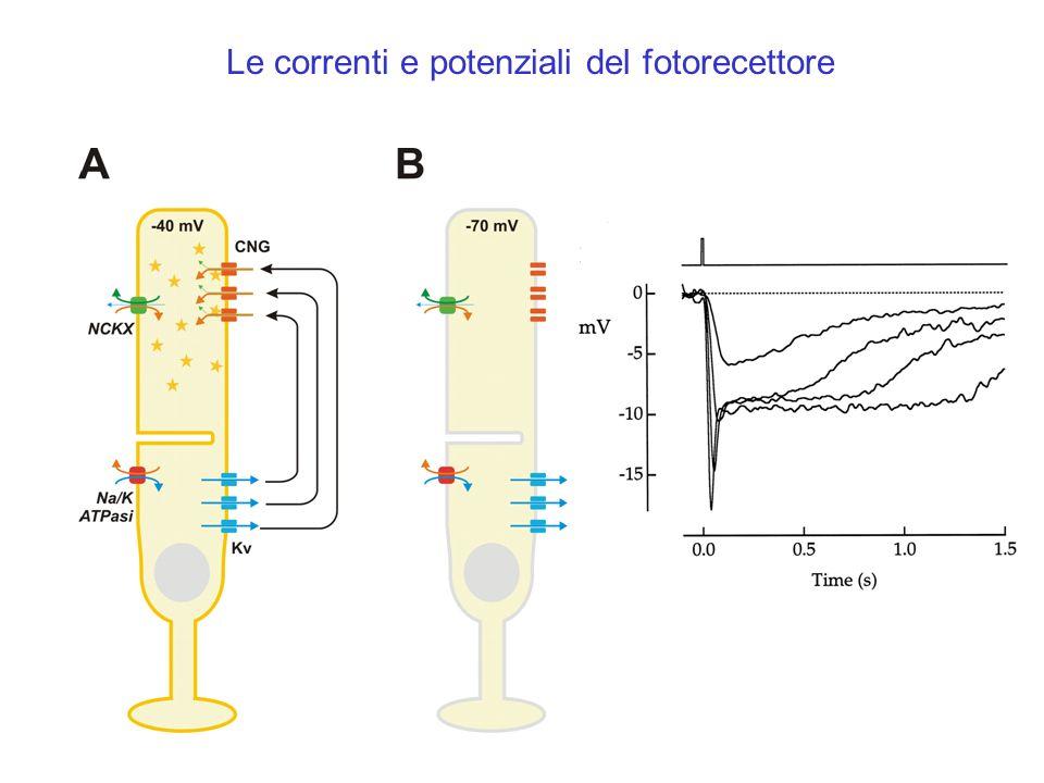 Le correnti e potenziali del fotorecettore