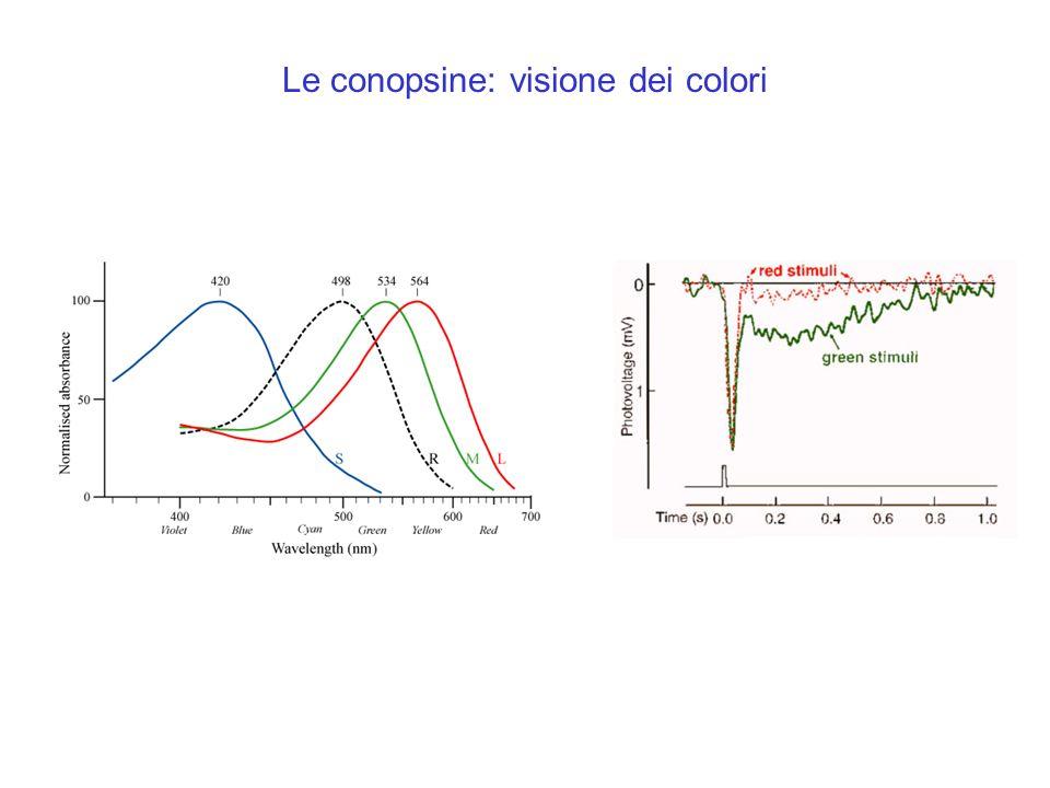 Le conopsine: visione dei colori