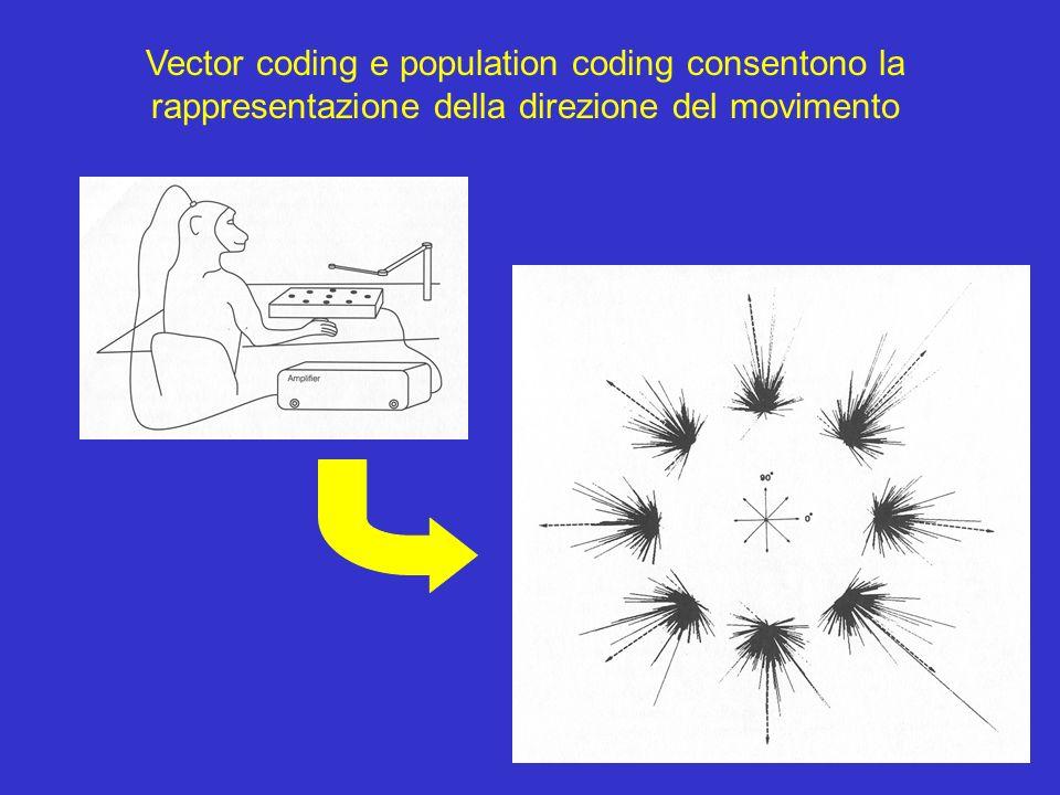 Vector coding e population coding consentono la rappresentazione della direzione del movimento