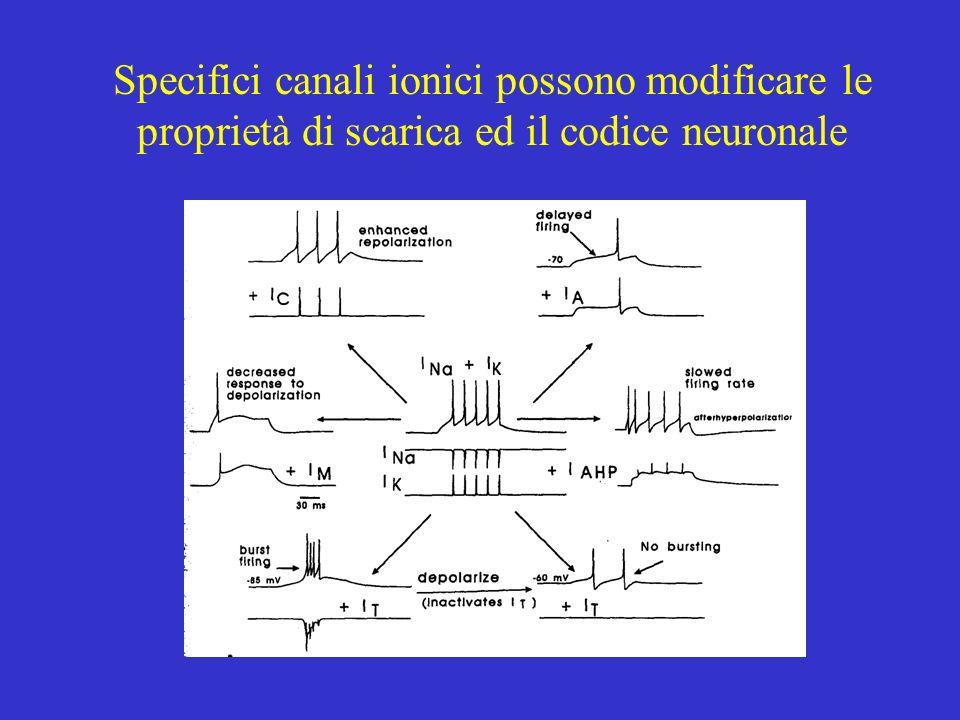Specifici canali ionici possono modificare le proprietà di scarica ed il codice neuronale