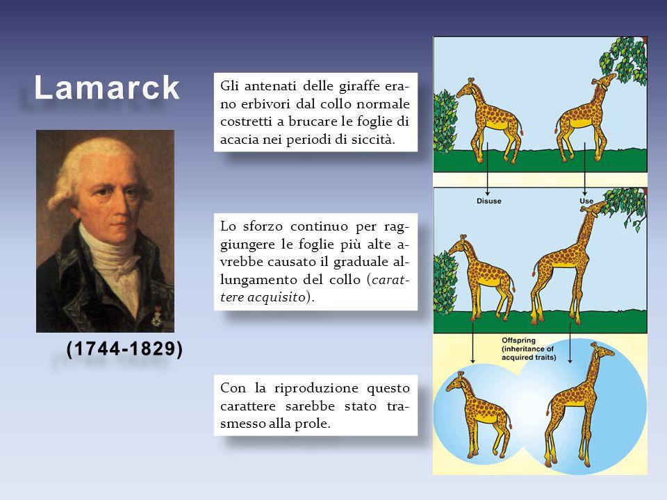 Lamarck Gli antenati delle giraffe era-no erbivori dal collo normale costretti a brucare le foglie di acacia nei periodi di siccità.