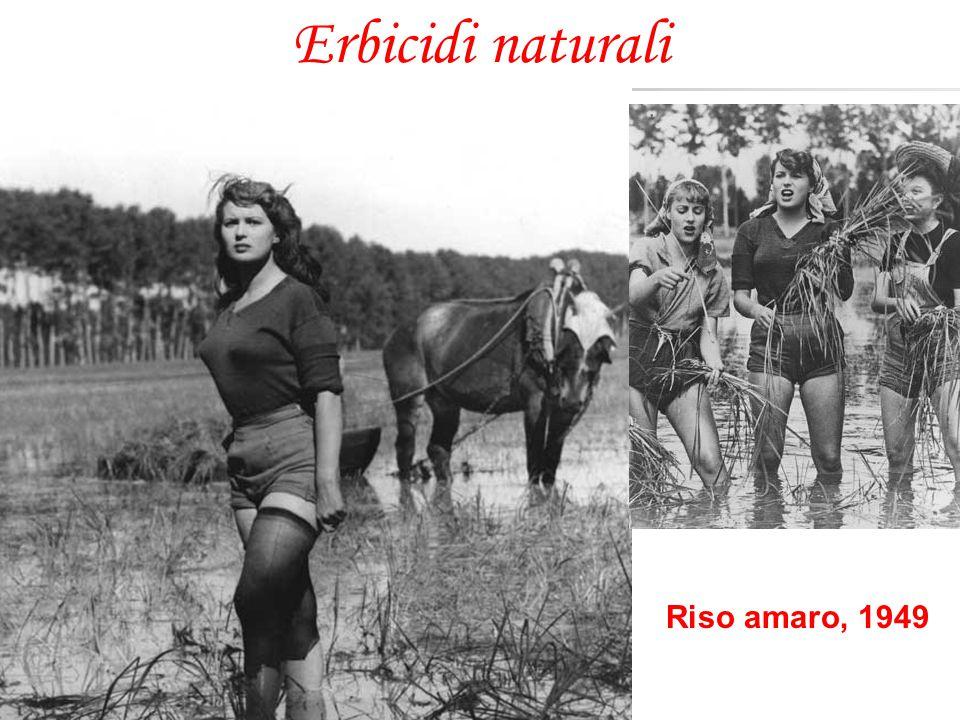 Erbicidi naturali Riso amaro, 1949