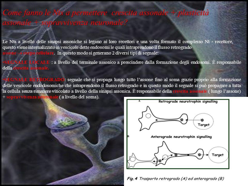 Come fanno le Nts a permettere crescita assonale + plasticità assonale + sopravvivenza neuronale