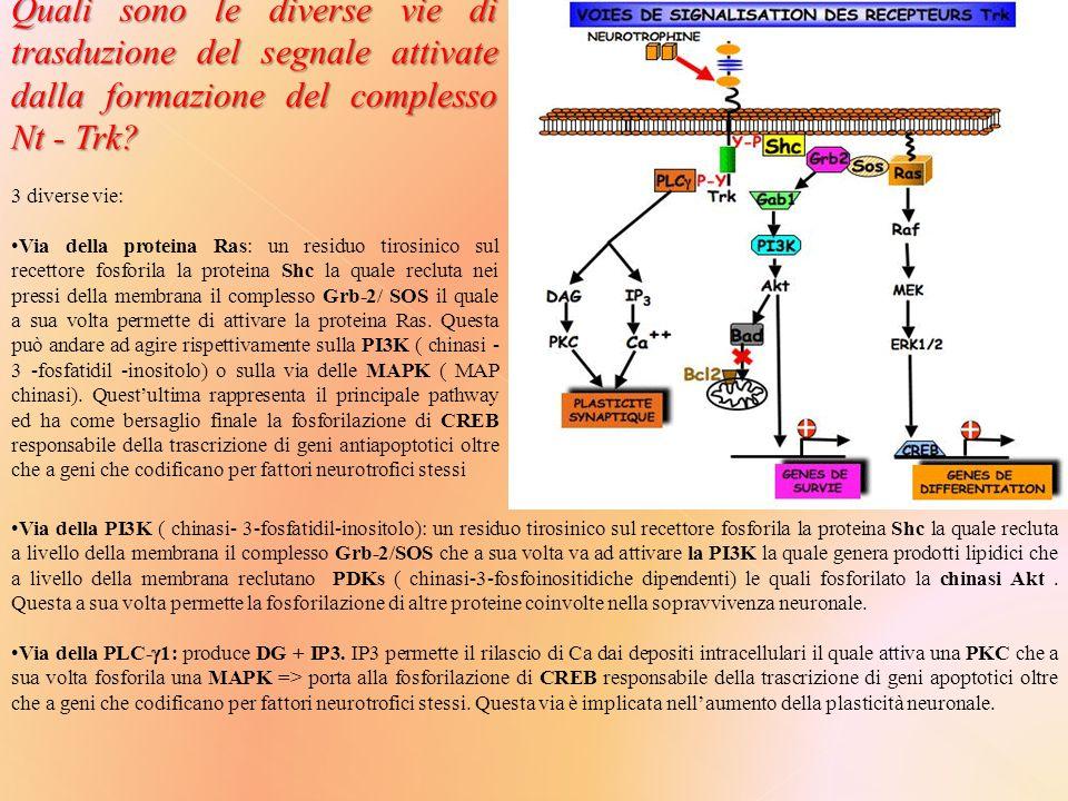 Quali sono le diverse vie di trasduzione del segnale attivate dalla formazione del complesso Nt - Trk