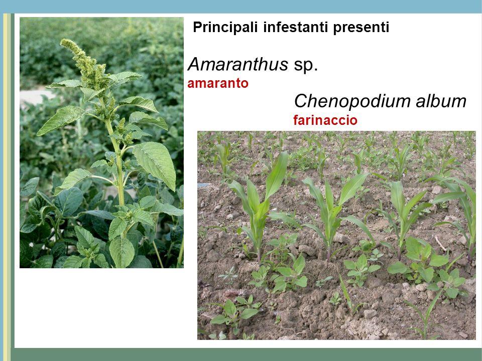 Amaranthus sp. Chenopodium album Principali infestanti presenti