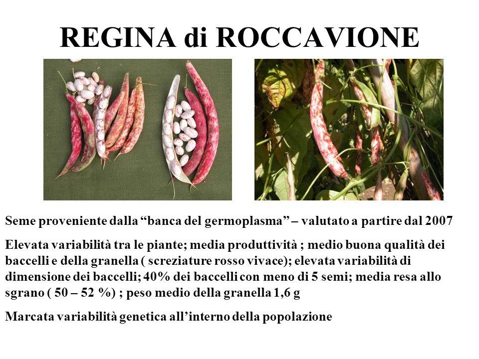 REGINA di ROCCAVIONE Seme proveniente dalla banca del germoplasma – valutato a partire dal 2007.