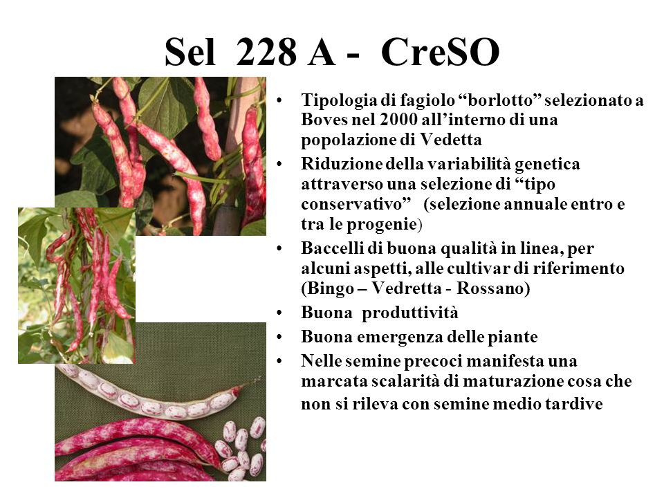 Sel 228 A - CreSO Tipologia di fagiolo borlotto selezionato a Boves nel 2000 all'interno di una popolazione di Vedetta.