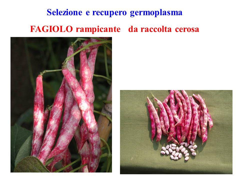 Selezione e recupero germoplasma FAGIOLO rampicante da raccolta cerosa