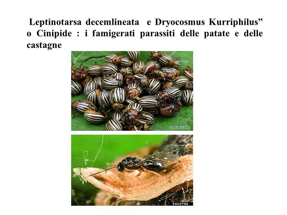 Leptinotarsa decemlineata e Dryocosmus Kurriphilus o Cinipide : i famigerati parassiti delle patate e delle castagne