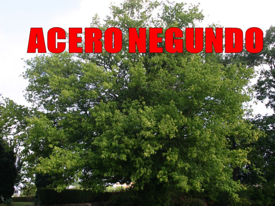 ACERO NEGUNDO