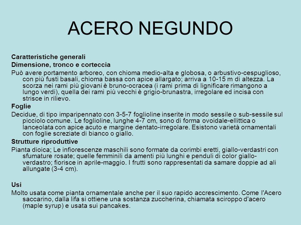 ACERO NEGUNDO Caratteristiche generali Dimensione, tronco e corteccia