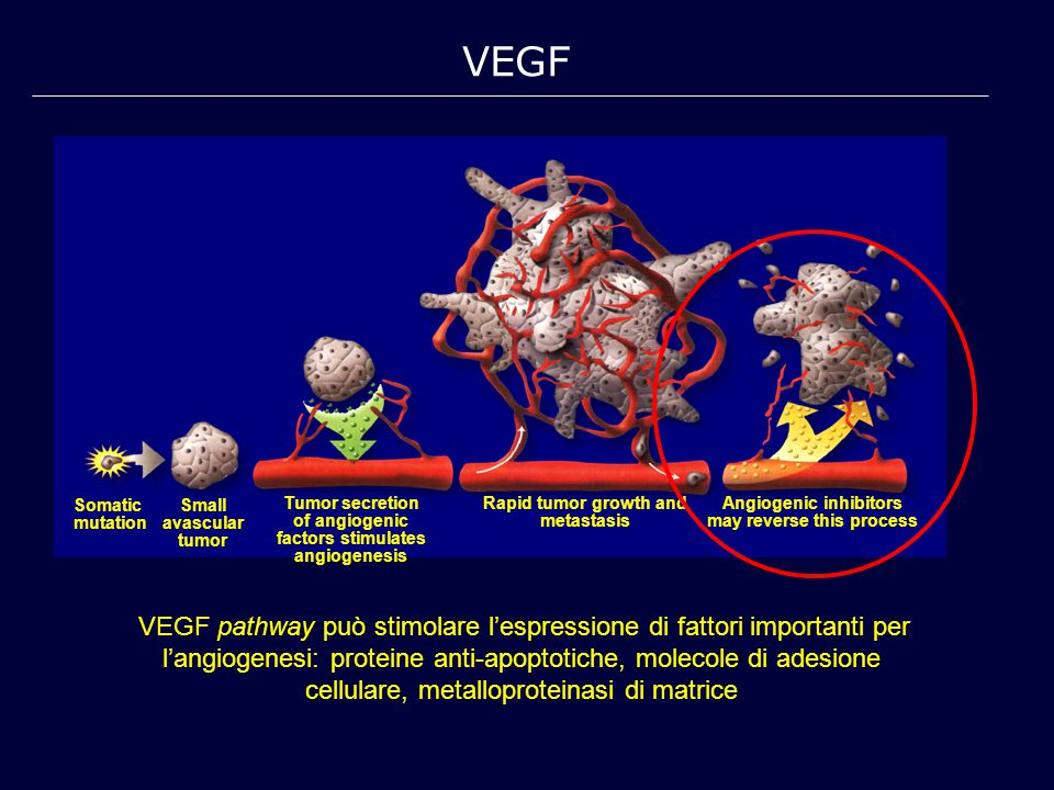 VEGF Somatic. mutation. Small avascular. tumor. Tumor secretion of angiogenic factors stimulates angiogenesis.