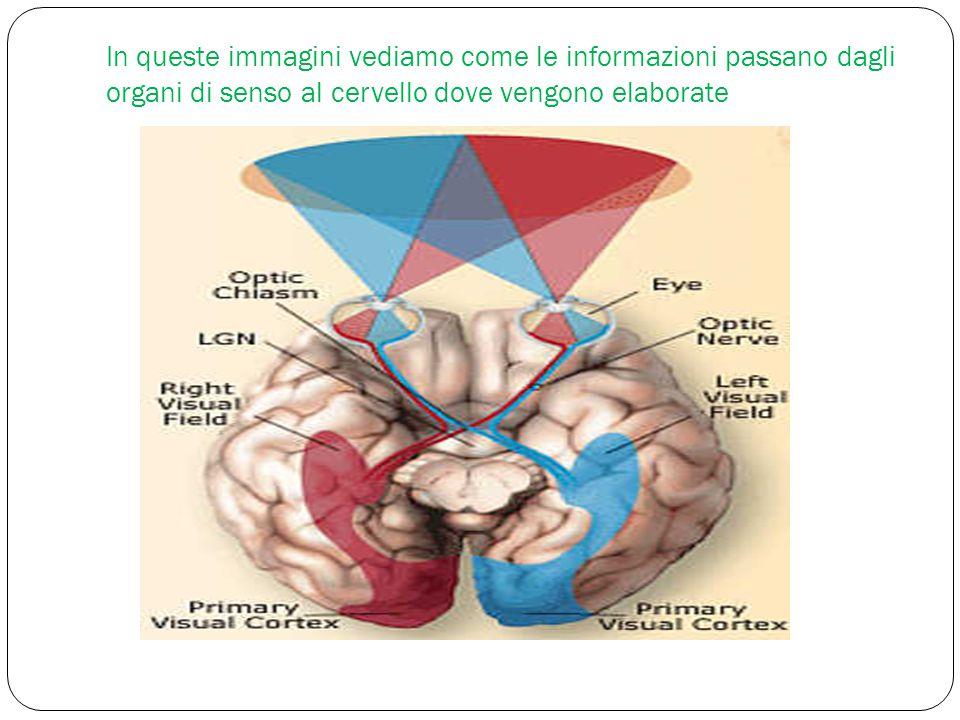 In queste immagini vediamo come le informazioni passano dagli organi di senso al cervello dove vengono elaborate