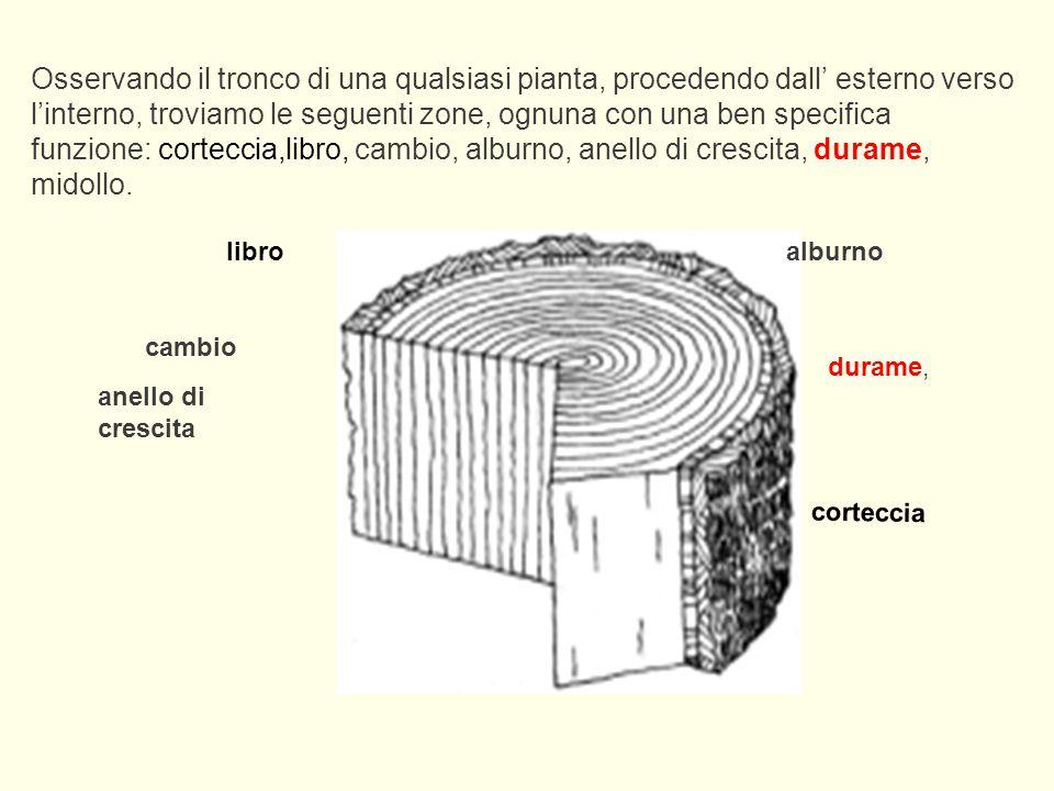 Osservando il tronco di una qualsiasi pianta, procedendo dall' esterno verso l'interno, troviamo le seguenti zone, ognuna con una ben specifica funzione: corteccia,libro, cambio, alburno, anello di crescita, durame, midollo.