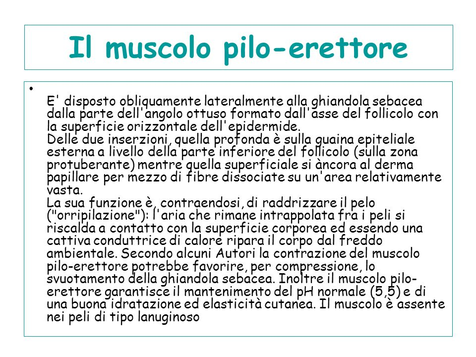 Il muscolo pilo-erettore