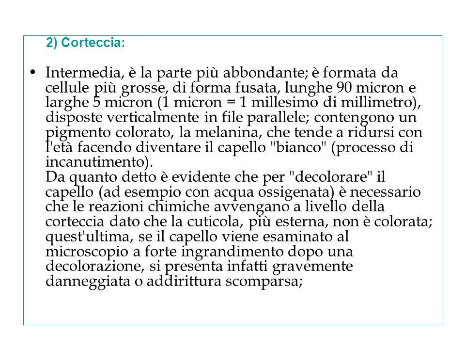 2) Corteccia: