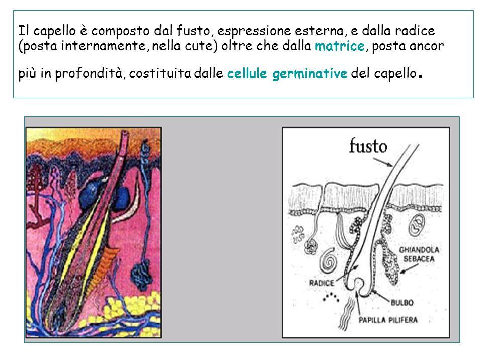 Il capello è composto dal fusto, espressione esterna, e dalla radice (posta internamente, nella cute) oltre che dalla matrice, posta ancor più in profondità, costituita dalle cellule germinative del capello.