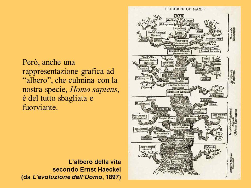 Però, anche una rappresentazione grafica ad albero , che culmina con la nostra specie, Homo sapiens, è del tutto sbagliata e fuorviante.