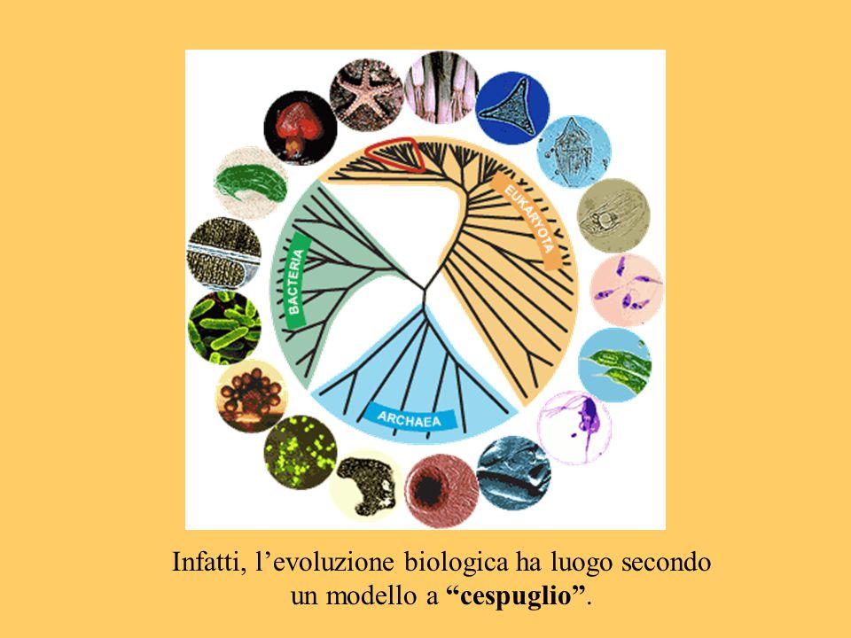 Infatti, l'evoluzione biologica ha luogo secondo un modello a cespuglio .