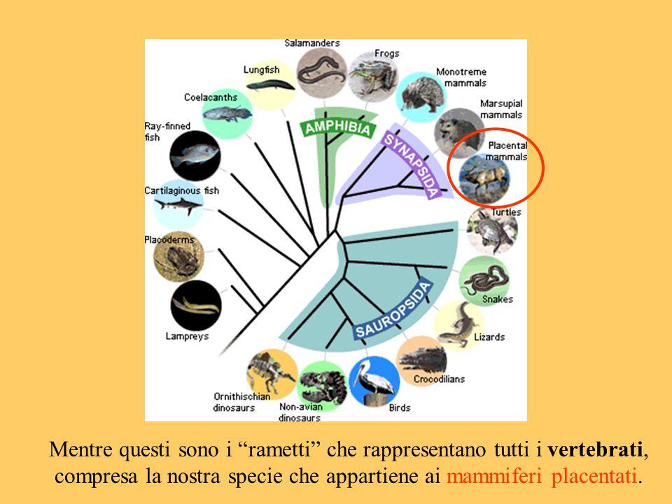 Mentre questi sono i rametti che rappresentano tutti i vertebrati, compresa la nostra specie che appartiene ai mammiferi placentati.