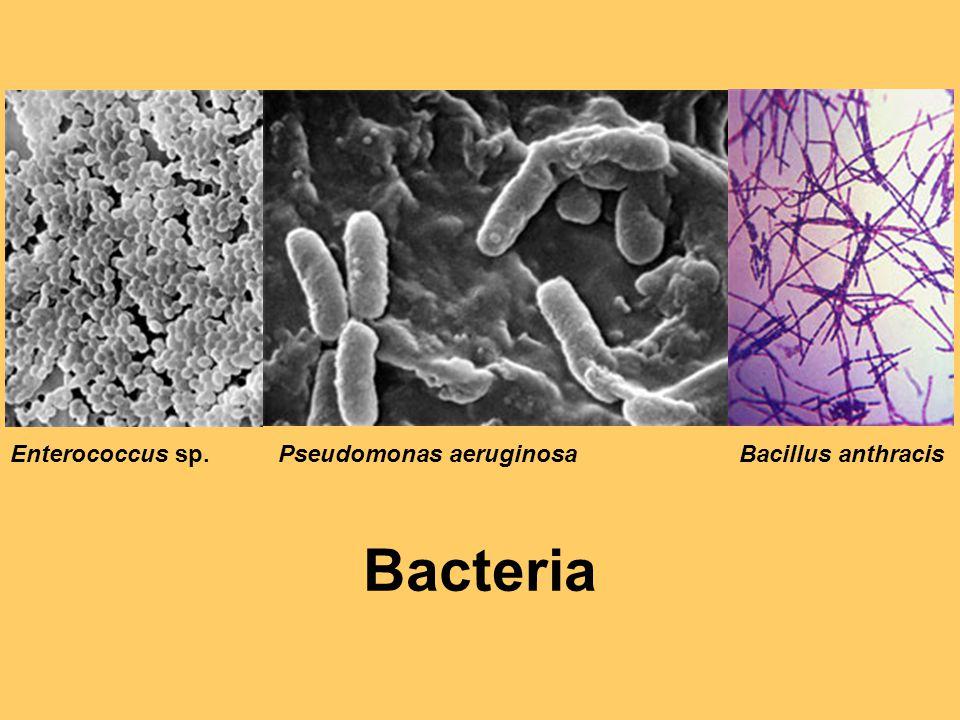 Enterococcus sp. Pseudomonas aeruginosa Bacillus anthracis Bacteria