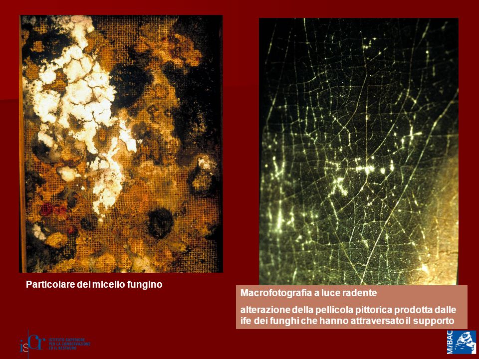 Particolare del micelio fungino