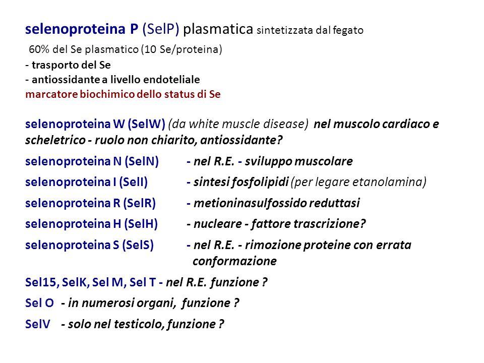 selenoproteina P (SelP) plasmatica sintetizzata dal fegato 60% del Se plasmatico (10 Se/proteina)
