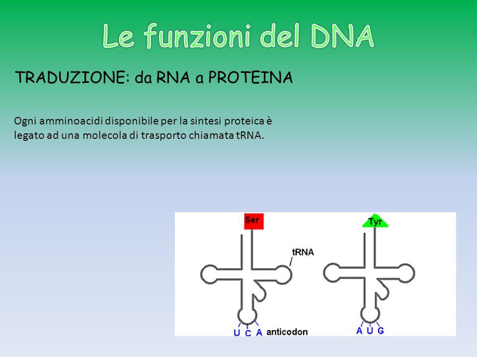 Le funzioni del DNA TRADUZIONE: da RNA a PROTEINA