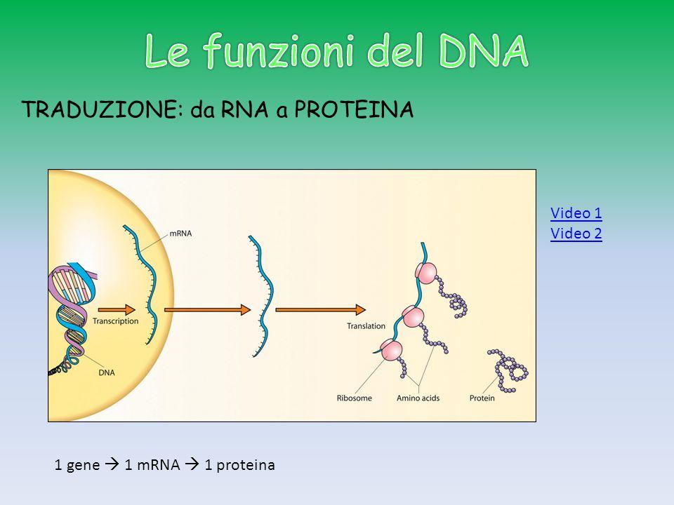 Le funzioni del DNA TRADUZIONE: da RNA a PROTEINA Video 1 Video 2