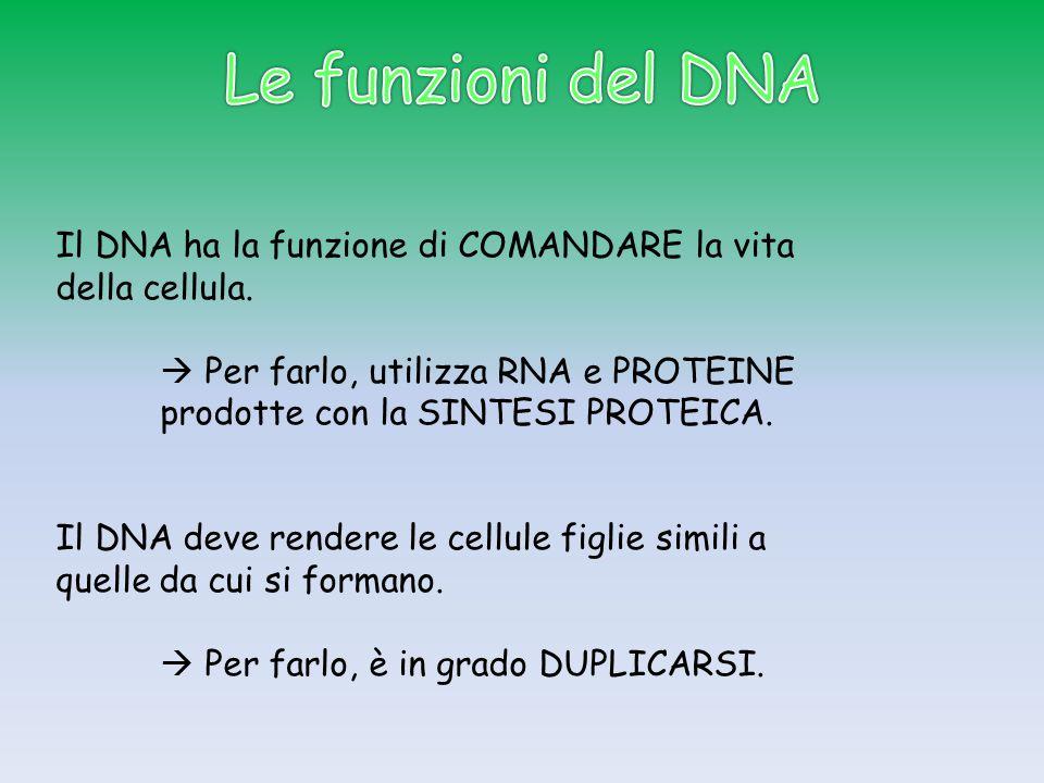 Le funzioni del DNA Il DNA ha la funzione di COMANDARE la vita della cellula.