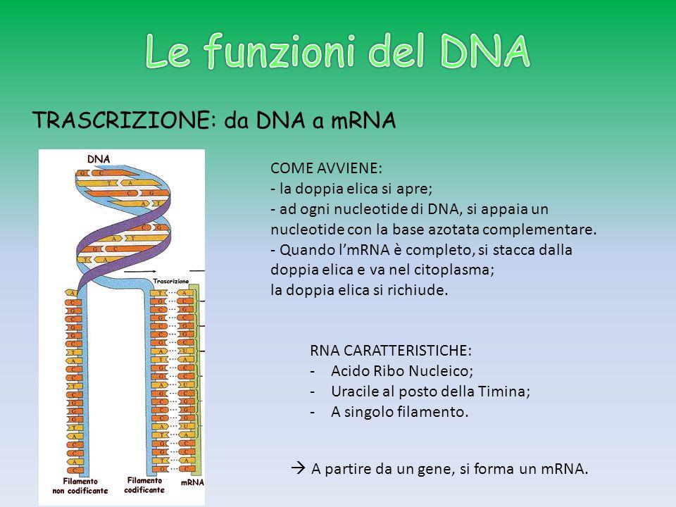 Le funzioni del DNA TRASCRIZIONE: da DNA a mRNA COME AVVIENE: