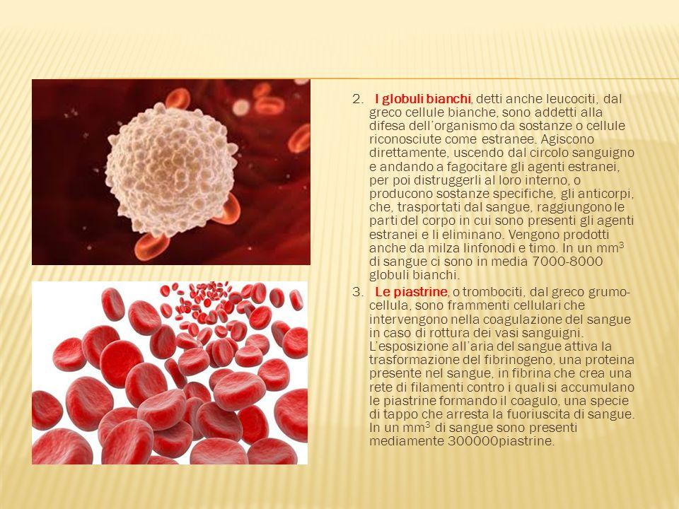 2. I globuli bianchi, detti anche leucociti, dal greco cellule bianche, sono addetti alla difesa dell'organismo da sostanze o cellule riconosciute come estranee. Agiscono direttamente, uscendo dal circolo sanguigno e andando a fagocitare gli agenti estranei, per poi distruggerli al loro interno, o producono sostanze specifiche, gli anticorpi, che, trasportati dal sangue, raggiungono le parti del corpo in cui sono presenti gli agenti estranei e li eliminano. Vengono prodotti anche da milza linfonodi e timo. In un mm3 di sangue ci sono in media 7000-8000 globuli bianchi.