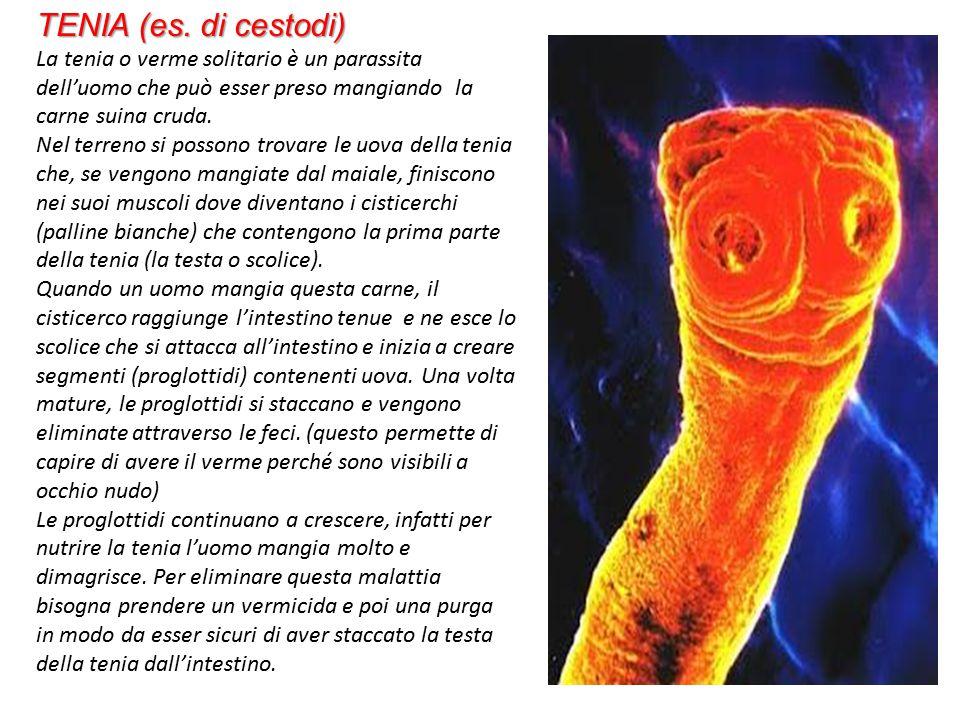 TENIA (es. di cestodi) La tenia o verme solitario è un parassita dell'uomo che può esser preso mangiando la carne suina cruda.