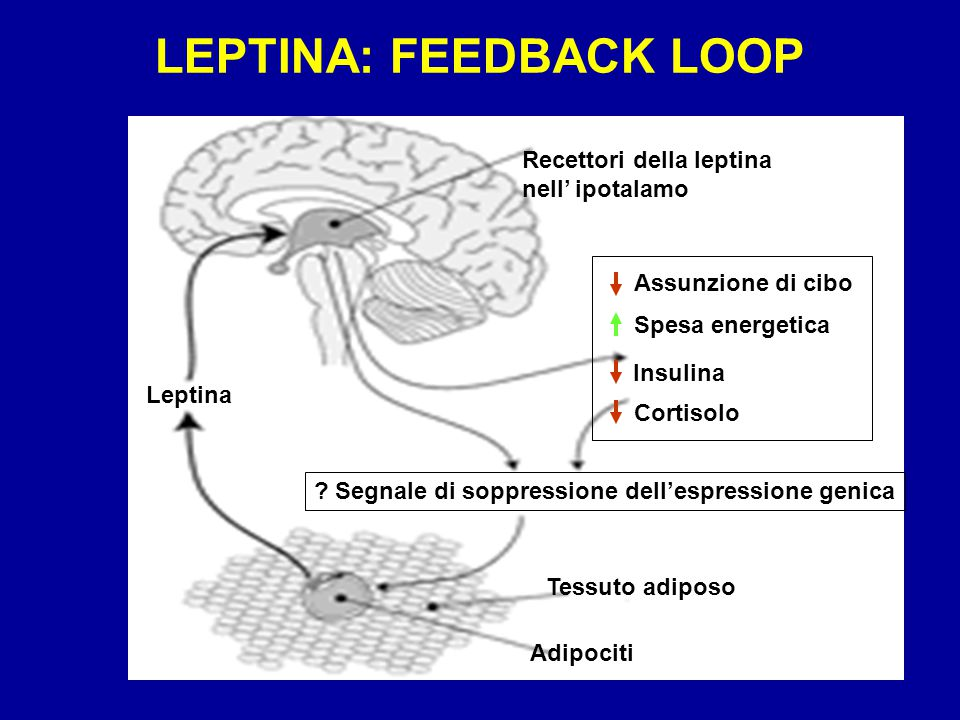 LEPTINA: FEEDBACK LOOP
