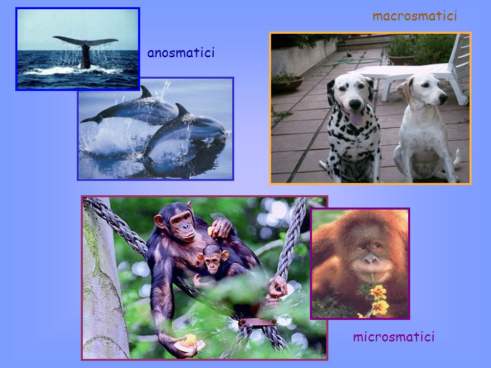macrosmatici anosmatici microsmatici
