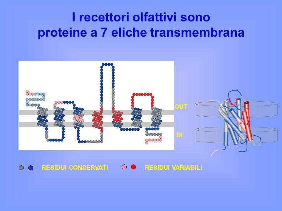 I recettori olfattivi sono proteine a 7 eliche transmembrana