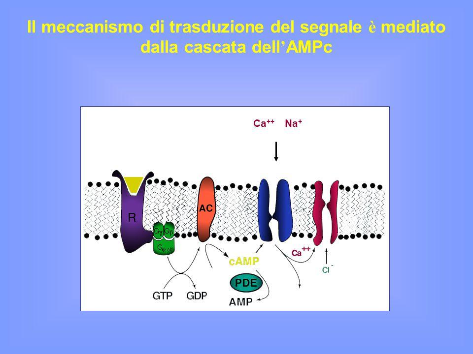 Il meccanismo di trasduzione del segnale è mediato dalla cascata dell'AMPc