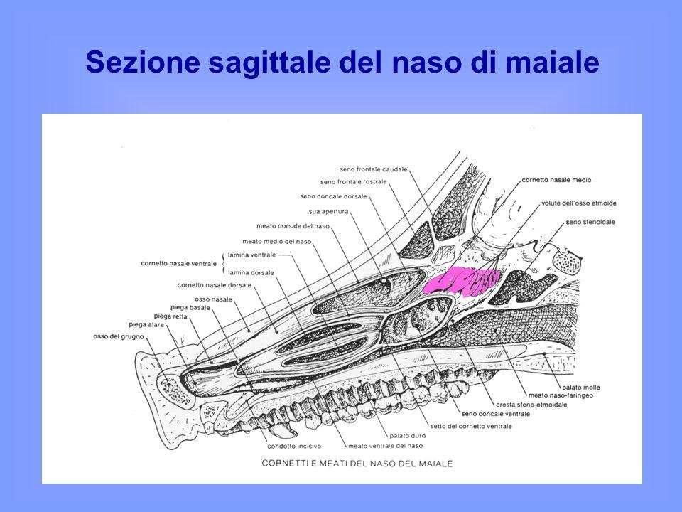 Sezione sagittale del naso di maiale
