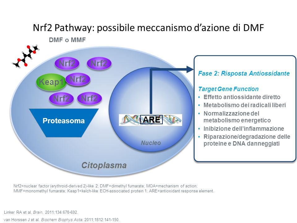 Nrf2 Pathway: possibile meccanismo d'azione di DMF