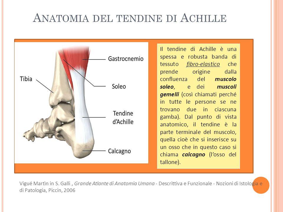 Anatomia del tendine di Achille