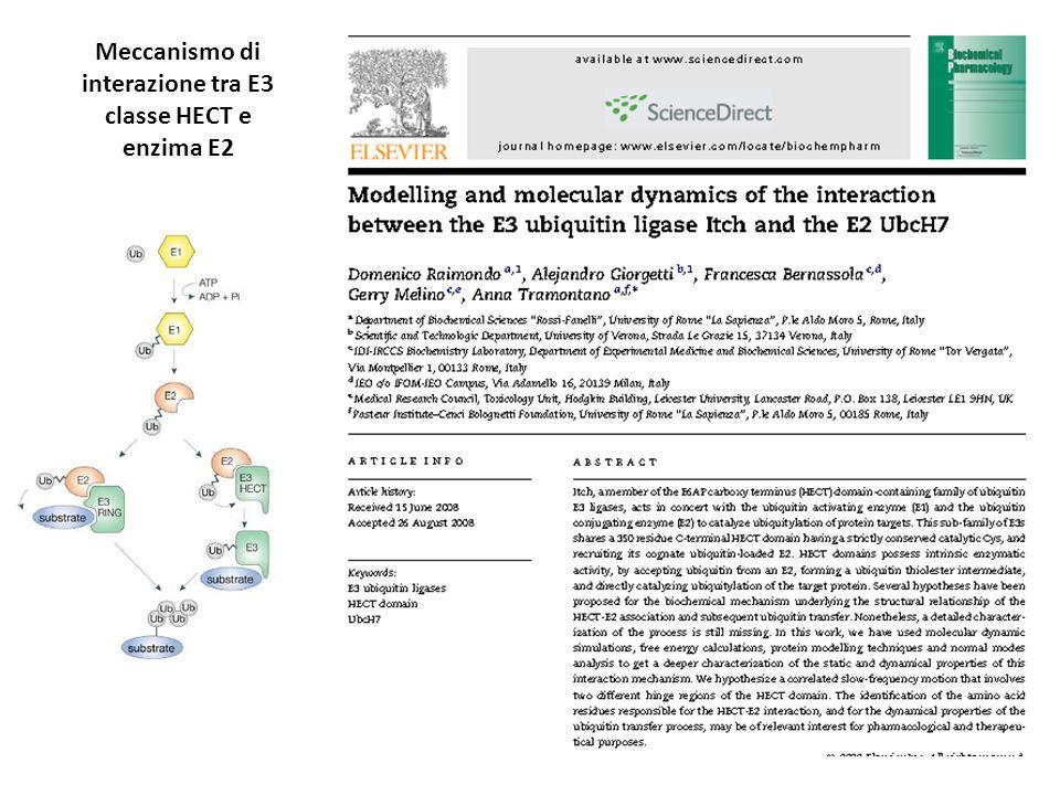 Meccanismo di interazione tra E3 classe HECT e enzima E2