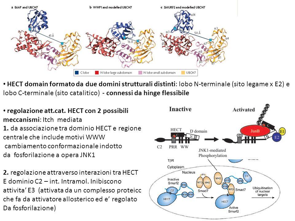 HECT domain formato da due domini strutturali distinti: lobo N-terminale (sito legame x E2) e lobo C-terminale (sito catalitico) - connessi da hinge flessibile