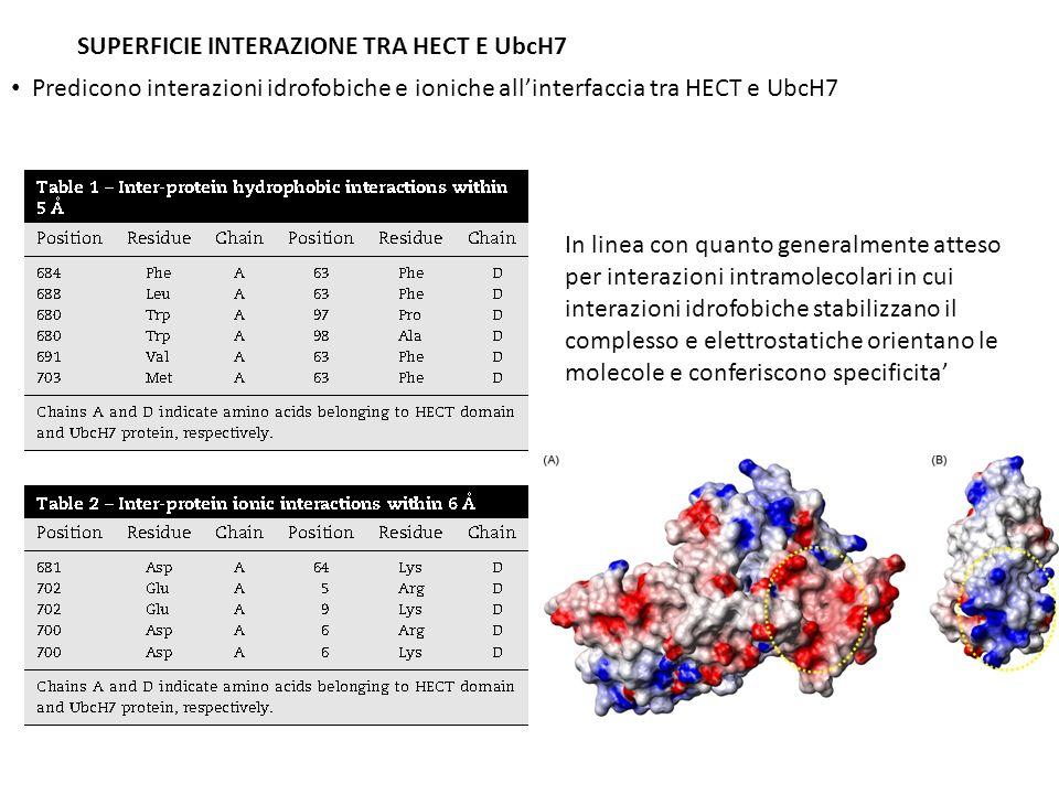 SUPERFICIE INTERAZIONE TRA HECT E UbcH7